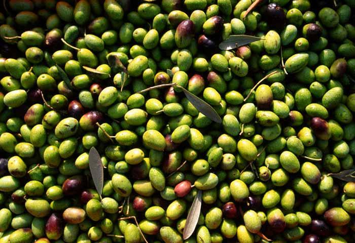 olivecoratina