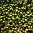 Olive della varietà coratina