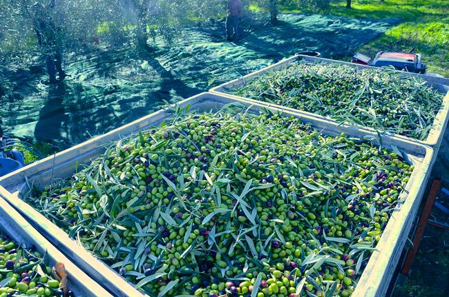 Grappolo d'olive su ramo